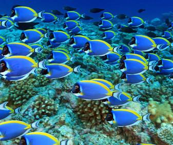 Weisskehl Doktorfisch (Acanthurus leucosternon), (Süd Male Atoll, Malediven, Indischer Ozean) - Powder Blue Tang / Powderblue Surgeonfish (South Male Atoll, Maldives, Indian Ocean)